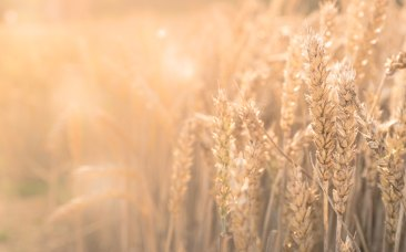 wheat harvet