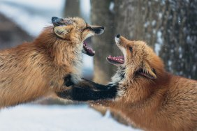 foxes fighting.jpg